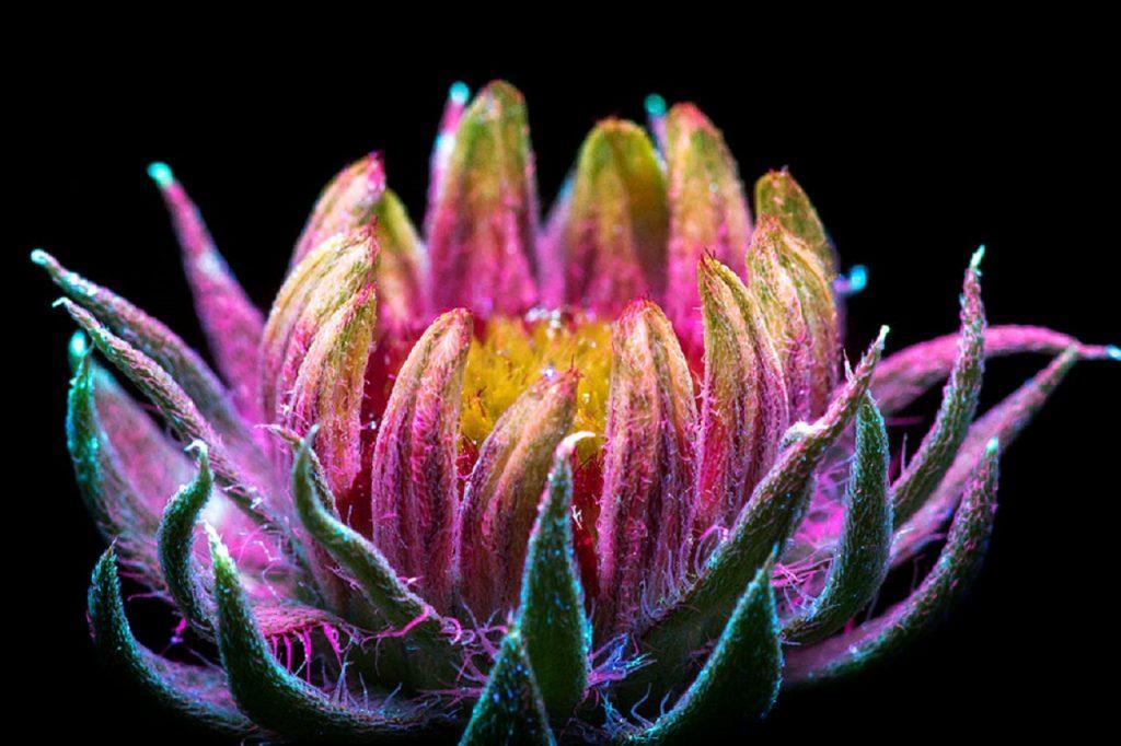 Así es como las abejas ven las flores: Fotografías de flores bajo luz  ultravioleta -
