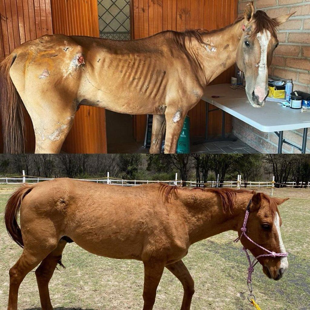 Mexicana crea santuario para caballos rescatados de las calles y les cambia  la vida -