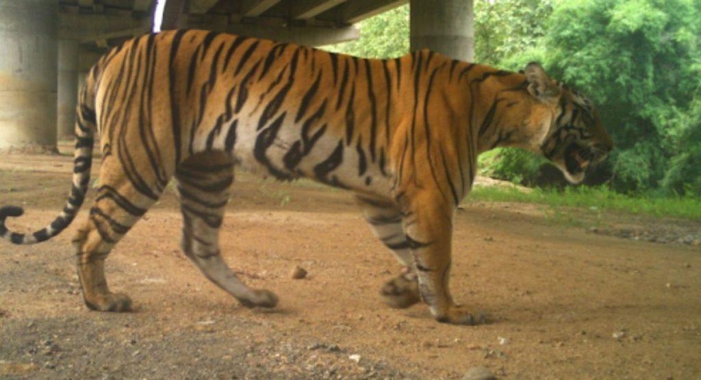 India construye autopista elevada únicamente para no afectar el paso de los  tigres -