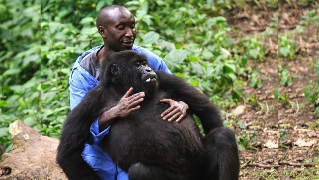 Gorila huérfana se aferra a su rescatista como si fuera su propia madre -