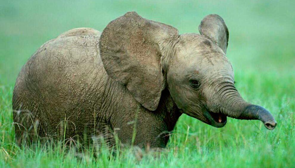 Elefante Bebé Se Esconde Detrás De Un Poste Luego De Que Lo Pillaran  Comiendo Caña De Azúcar